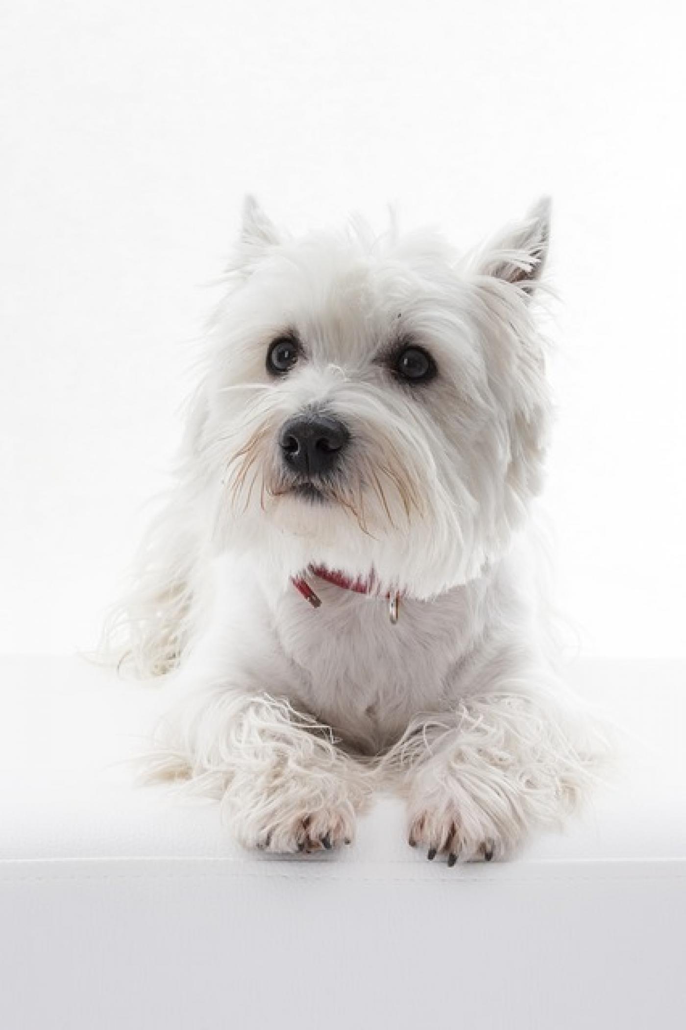 Dog Grooming Tutorial How To Groom Your Westie Dogs Delight Grooming School